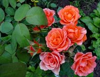 Fleurs de jardin Roses rouges photos stock