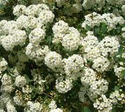 Fleurs de jardin Spiraea blanc images stock