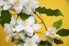 Fleurs de jasmin Images stock