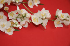 Fleurs de jasmin Image stock