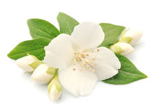 Fleurs de jasmin Photos libres de droits