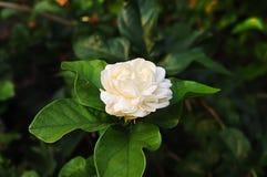 Fleurs de jasmin Photographie stock libre de droits