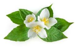 Fleurs de jasmin avec des feuilles sur le blanc Image libre de droits