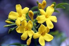 Fleurs de jasmin de la Caroline Photo libre de droits