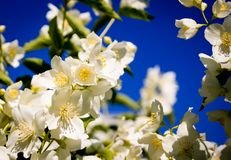 Fleurs de jasmin image libre de droits