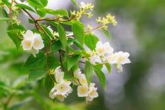 Fleurs de jasmin sur une branche Image libre de droits