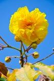 Fleurs de jaune de chrysotricha de Tabebuia Photos libres de droits