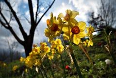 Fleurs de jonquille Photos stock