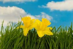 Fleurs de jonquille Photo libre de droits