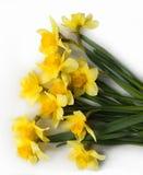 Fleurs de jonquille colorées par jaune Images libres de droits