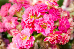 Fleurs de Kalanchoe Photo stock