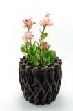 Fleurs de Kalanchoe Photos stock