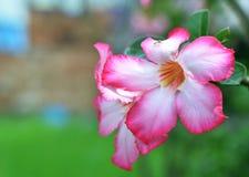 Fleurs de Kamboja de nature Photographie stock libre de droits