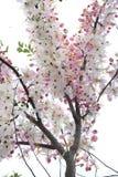 Fleurs de Kanlapaphruek Photographie stock libre de droits