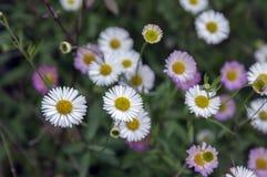 Fleurs de karvinskianus d'Erigeron en fleur Images libres de droits