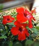 Fleurs de ketmie photos stock