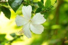 Fleurs de ketmie Photographie stock libre de droits