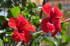 Fleurs de ketmie Photo stock
