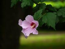 Fleurs de ketmie Image stock