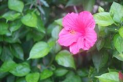 Fleurs de ketmie Photographie stock