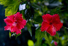 Fleurs de ketmie Images libres de droits