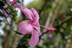 Fleurs de ketmie au jardin Photos stock
