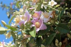 Fleurs de ketmie d'île de Norfolk Photo stock