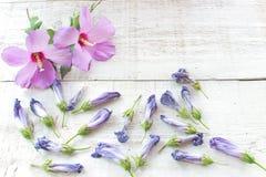 Fleurs de ketmie et pétales fanés sur le fond en bois blanc Image libre de droits