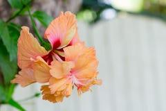Fleurs de ketmie - fleur orange Photographie stock libre de droits