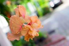 Fleurs de ketmie - fleur orange Images libres de droits