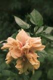 Fleurs de ketmie - fleur orange Image libre de droits