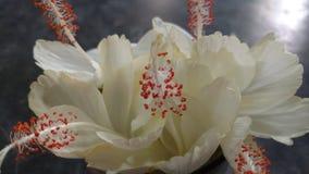 Fleurs de ketmie, ketmie, mauve rose Image stock