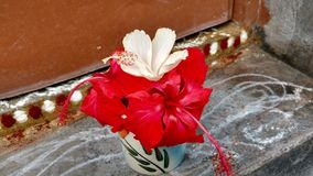 Fleurs de ketmie, ketmie, mauve rose Photos libres de droits
