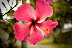 Fleurs de ketmie images stock