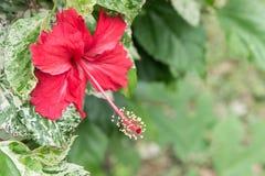Fleurs de ketmie, reine de Chaba des fleurs tropicales souvent développées ou Image stock
