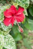 Fleurs de ketmie, reine de Chaba des fleurs tropicales souvent développées ou Image libre de droits