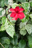 Fleurs de ketmie, reine de Chaba des fleurs tropicales souvent développées ou Photos libres de droits
