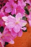 Fleurs de Kirin d'azalée Photographie stock