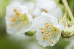 Fleurs de kolomikta d'Actinidia Photo libre de droits