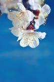 Fleurs de l'arbre fruitier Photos stock
