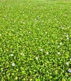Fleurs de l'eau blanche sur un lac Photographie stock libre de droits