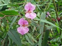 Fleurs de l'Himalaya de baume Photographie stock