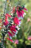 Fleurs de la bruyère fuchsia australienne Photographie stock libre de droits
