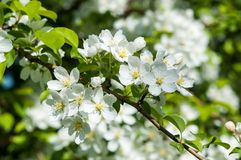 Fleurs de la couleur de blanc d'Apple-arbre Photos stock