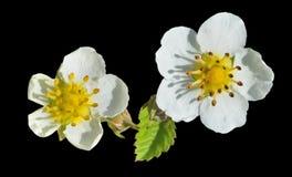 Fleurs de la fraise 3 Photographie stock