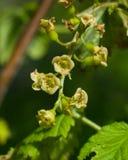 Fleurs de la groseille rouge, rubrum de Ribes, sur la branche avec le macro de fond de bokeh, foyer sélectif, DOF peu profond Photographie stock