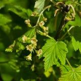 Fleurs de la groseille rouge, rubrum de Ribes, sur la branche avec le macro de fond de bokeh, foyer sélectif, DOF peu profond Image libre de droits