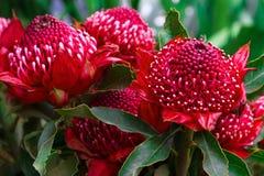 Fleurs de la Madère, Telopea de Gembrook (Waratah Speciosissima) Images libres de droits