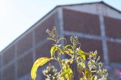Fleurs de la plante de tabac photographie stock libre de droits