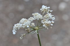 Fleurs de lacet de la Reine Anne Image stock